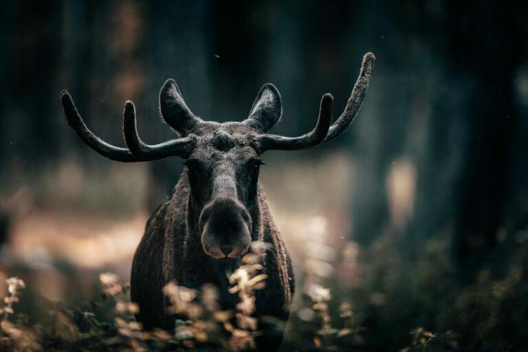 Elch, Schweden, moose