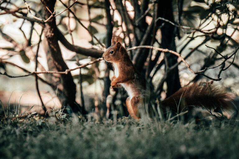 Eichhörnchen, squirrel, Köln, Melatenfriedhof, Tierportrait, urban wildlife